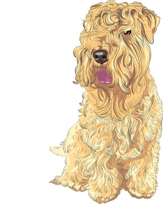 Irish softcoated wheaten terrier 1 BK