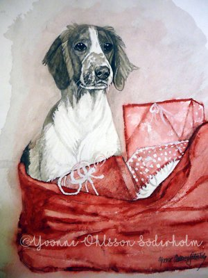 Welsh springer spaniel 7 Yvonne