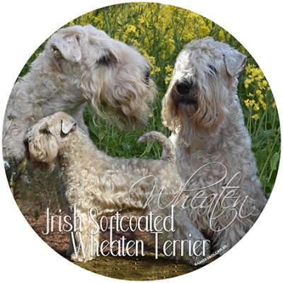 Irish softcoated wheaten terrier bildekal